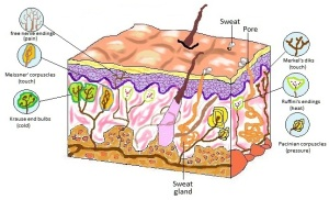 Receptors in human skin