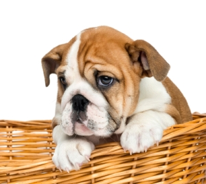 Close-up of an English Bulldog Puppy, 2 months old, in a wicker basket, isolated on white