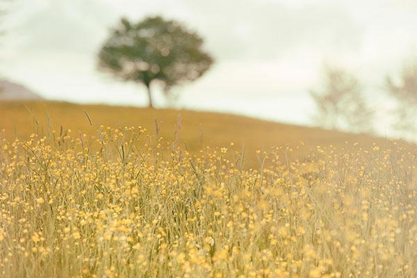 fieldyellowflowers_silvestrimatteounsplash-web